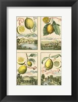 Framed Miniature Lemons