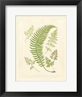 Ferns with Platemark IV Framed Print