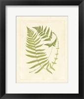 Ferns with Platemark V Framed Print