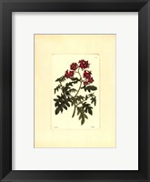 Framed Red Curtis Botanical III