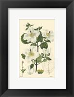 Framed White Curtis Botanical III
