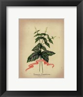 Framed Herb Series IV