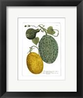 Framed Antique Melons II