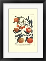 Framed Fruits III