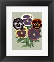 Framed Tricolor Pansies II