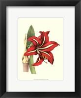 Framed Amaryllis I