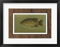 Framed Rock Bass