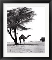 Framed Camel and Tree, Desert of Mauritania