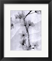 Framed Cherry Blossoms in Winter