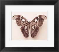 Framed Attacus Atlas