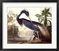Framed Louisiana Heron