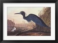 Framed Little Blue Heron