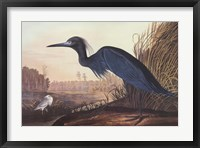 Framed Little Blue Heron
