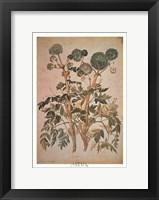 Framed Angelica Arcangelica