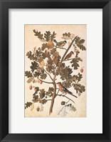 Framed Quercus Robur E Parus Coerculeis