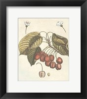 French Fruit Plate/Cherries Framed Print