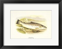 Framed Great Lake Trout