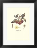Framed Pear/Bellifsime d'Ete