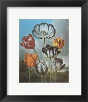 Framed Group of Tulips