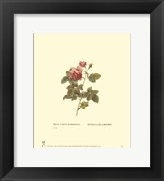 Roses IV Framed Print