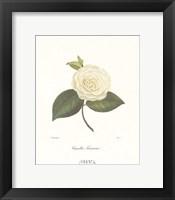 Framed Camellia Fenestrata