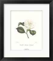 Framed Camellia Alexandre-Le-Grand