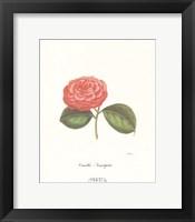 Framed Camellia Serralifelia