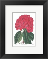 Framed Rhododendron No. 1