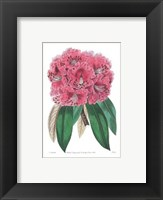 Framed Rhododendron No. 3