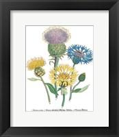 Centaurea Montana Framed Print