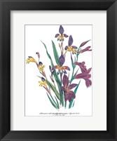 Sphoerospora Imbricata Framed Print