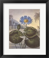 Framed Blue Egyptian Water-Lily