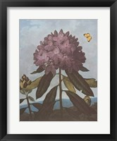 The Pontic Rhododendron Framed Print