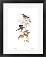 Framed Panterpe Insignis/Hummingbirds