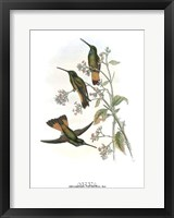 Helianthea Dichroura/Hummingbirds Framed Print