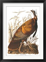 Framed Wild Turkey