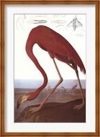 Framed American Flamingo
