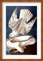 Framed Iceland or Ier Falcon
