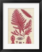 Framed Britich Seaweed Plate CCLIX