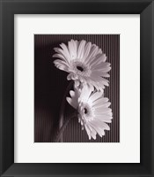 Fresh Cut Gerbera Daisy I Framed Print