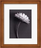 Framed Fresh Cut Gerbera Daisy III