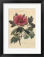 Framed Peonia Moutan Anneslei