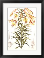 Framed Lilium Centifolium