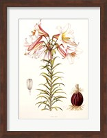 Framed Lilium Regale