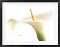 Framed Calla on White