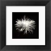 Framed Spider Mum, Flower Series I