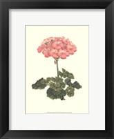 Framed Pink Geranium III