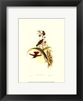 Framed Small Gould Hummingbird II