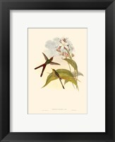 Framed Small Gould Hummingbird III