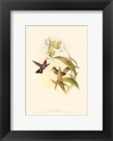Framed Small Gould Hummingbird IV